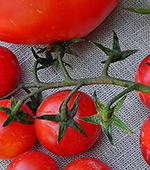 Teaser Tomate August eigener Anbau